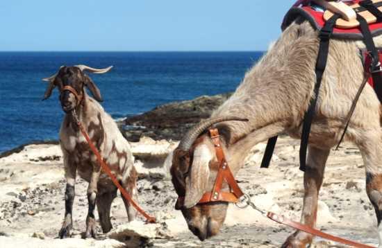 Wandern mit Ziegen auf Fuerteventura